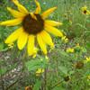 Sonnenblume avatare