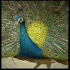 Vogel avatare