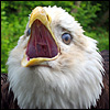 Adler avatare