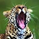 Gepard avatare