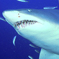 Haien avatare