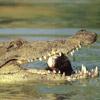 Krokodile avatare
