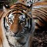 Tigers avatare
