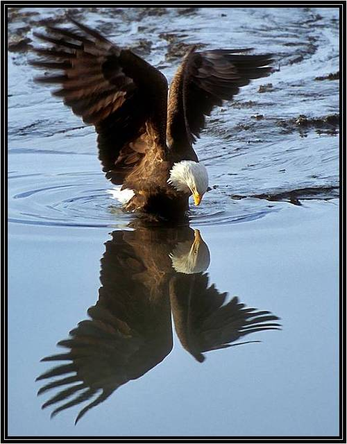 Adler bilder