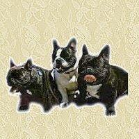 Franzosische bulldogge bilder