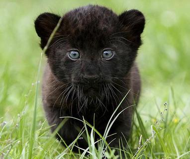 Panther bilder