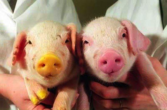 Schwein bilder