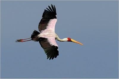 Afrikanische teichhuhn vogel bilder
