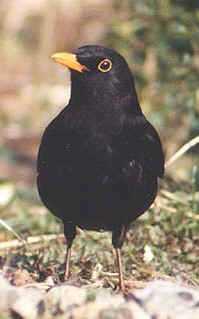 Amsel vogel bilder