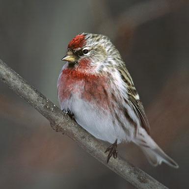 Birkenzeisig vogel bilder