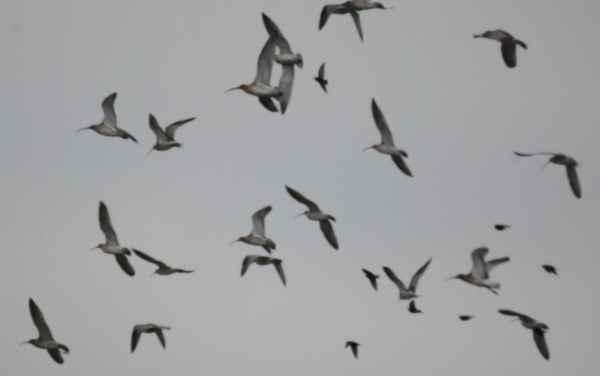 Brachvogel vogel bilder