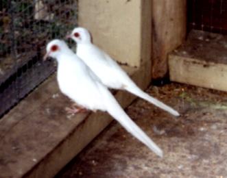 Diamant taube vogel bilder
