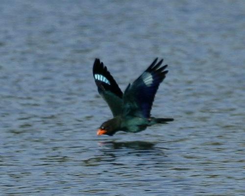 Dollarvogel vogel bilder