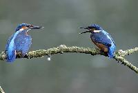 Eisvogel vogel bilder