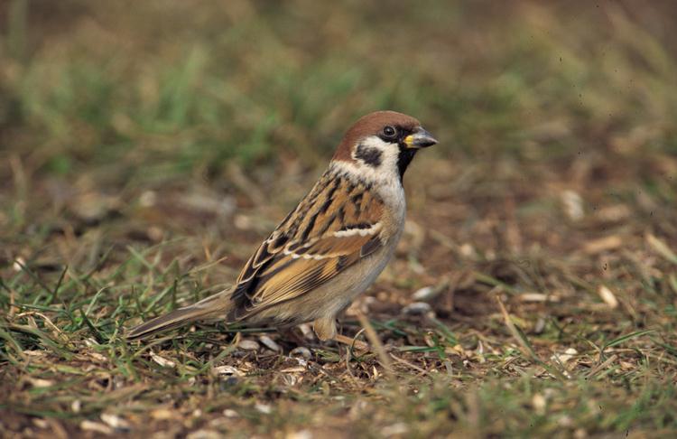 Feldsperling vogel bilder