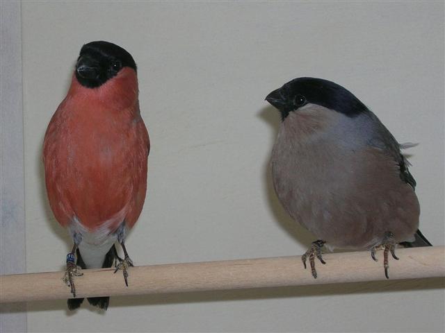 Gimpel vogel bilder