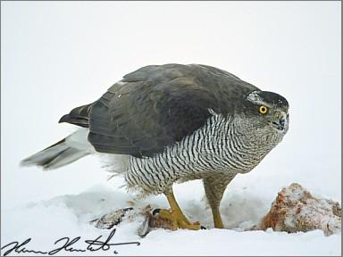 Habicht vogel bilder
