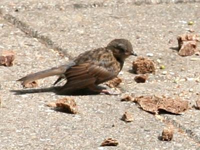 Heckenbraunelle vogel bilder