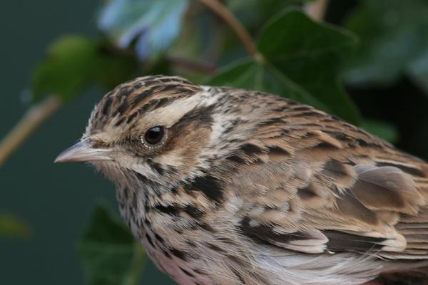 Heidelerche vogel bilder