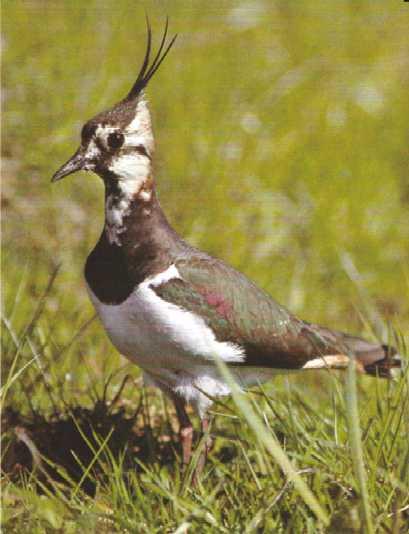 Kiebitz vogel bilder