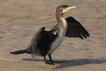 Kormoran vogel bilder
