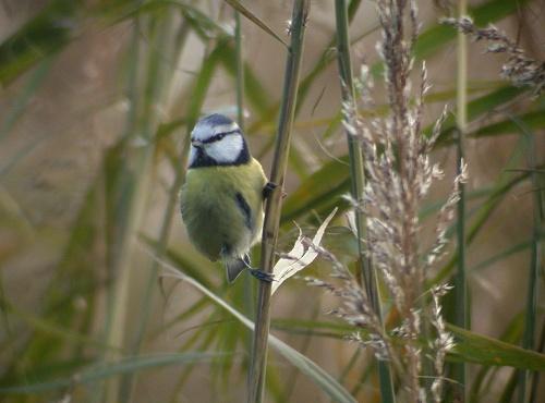 Meise vogel bilder