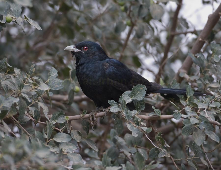 Oriental turteltaube vogel bilder