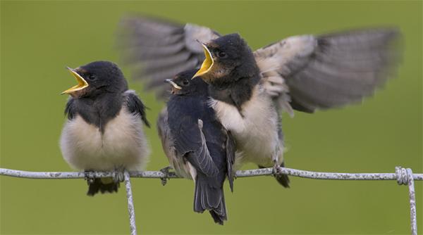 Rauchschwalben vogel bilder