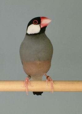 Reisvogel vogel bilder