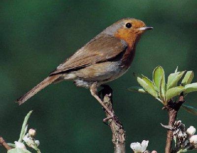 Robin vogel bilder