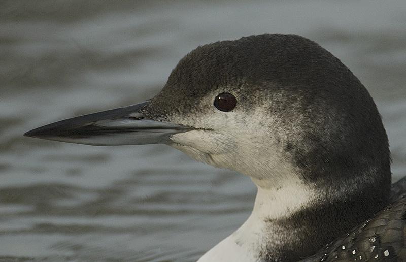 Seetaucher vogel bilder
