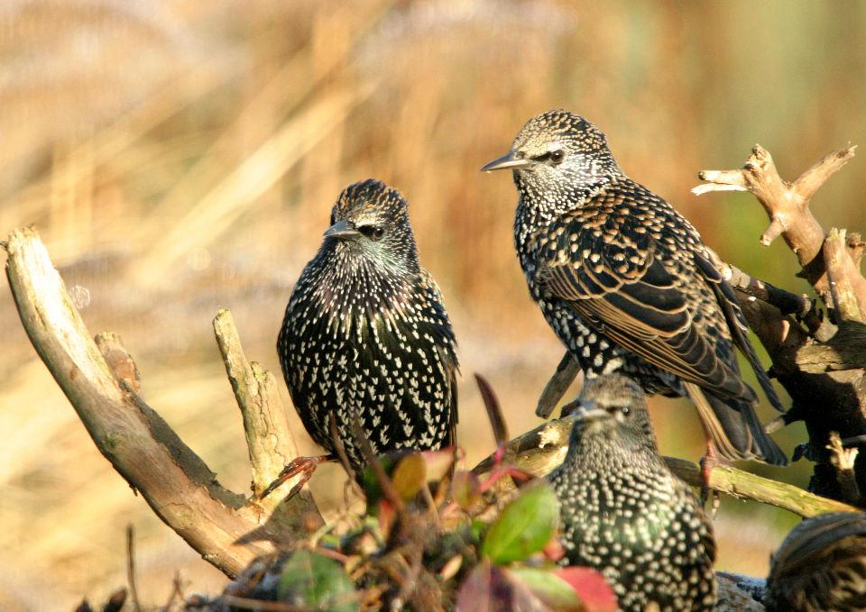 Spreeuwen vogel bilder