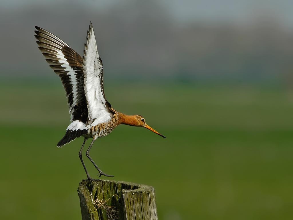 Uferschnepfe vogel bilder
