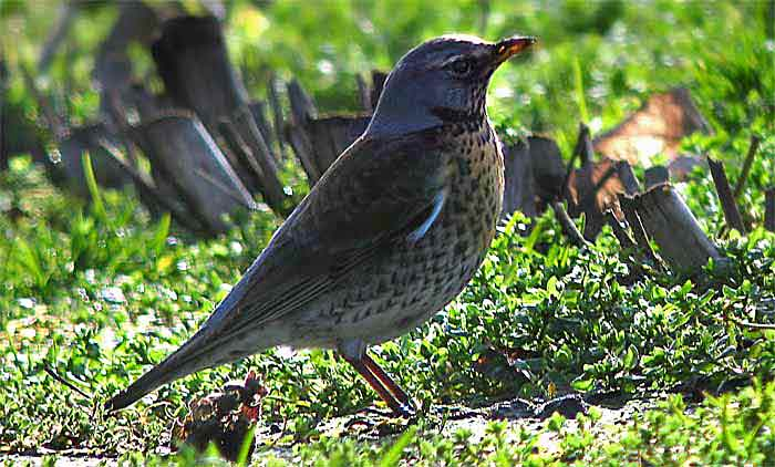 Wacholderdrossel vogel bilder