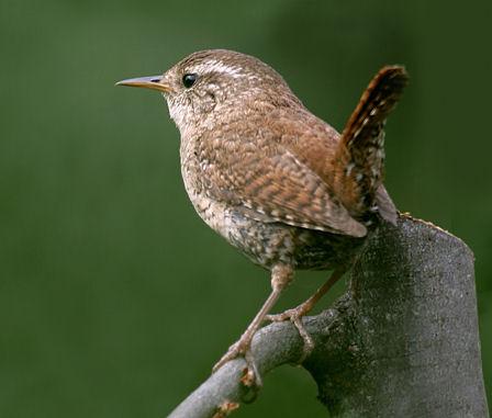 Zaunkonig vogel bilder