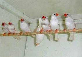 Zebravinken vogel bilder