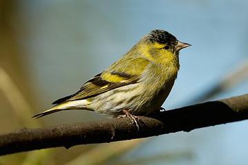 Zeisig vogel bilder