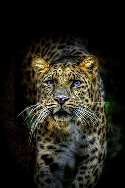 Gepard wallpapers