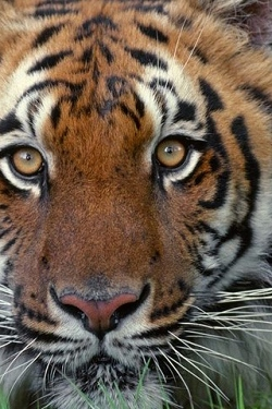 Tigers wallpapers