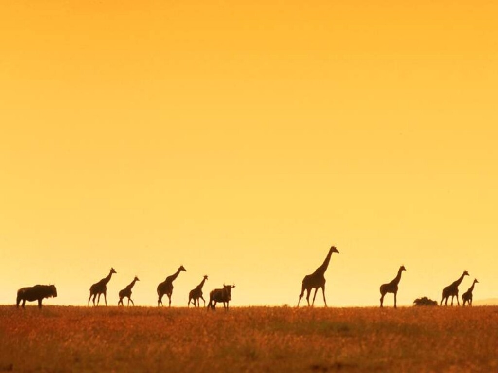 Giraffen wallpapers