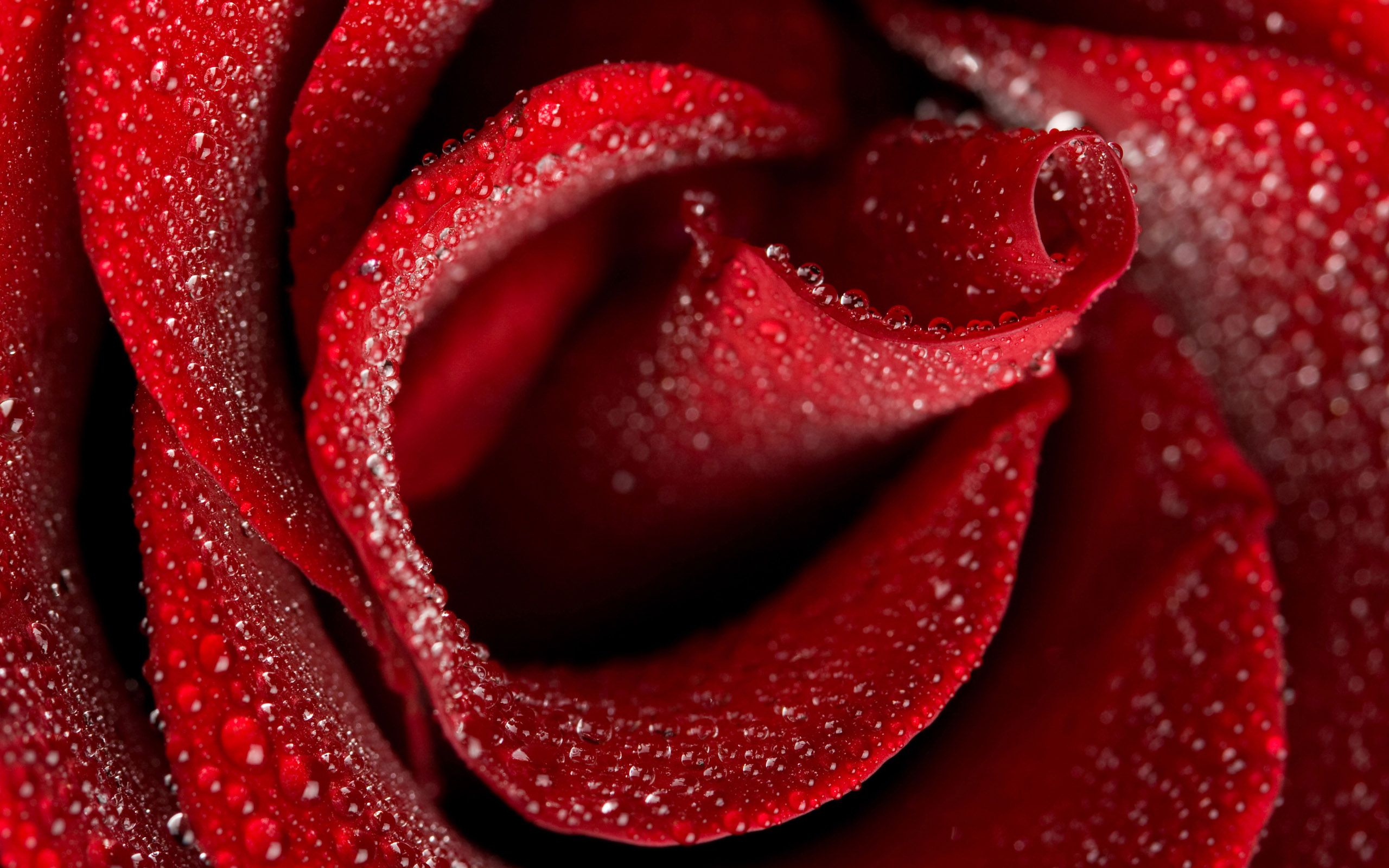 Rosen wallpapers - Red rose flower hd images ...