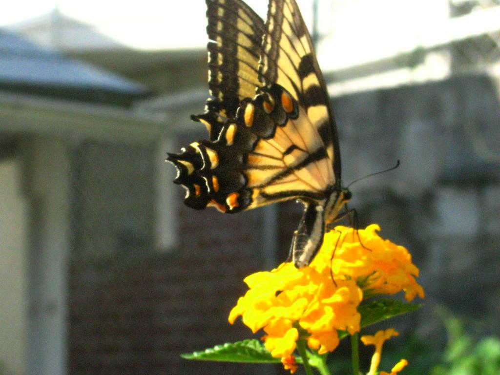 Schmetterlinge wallpapers