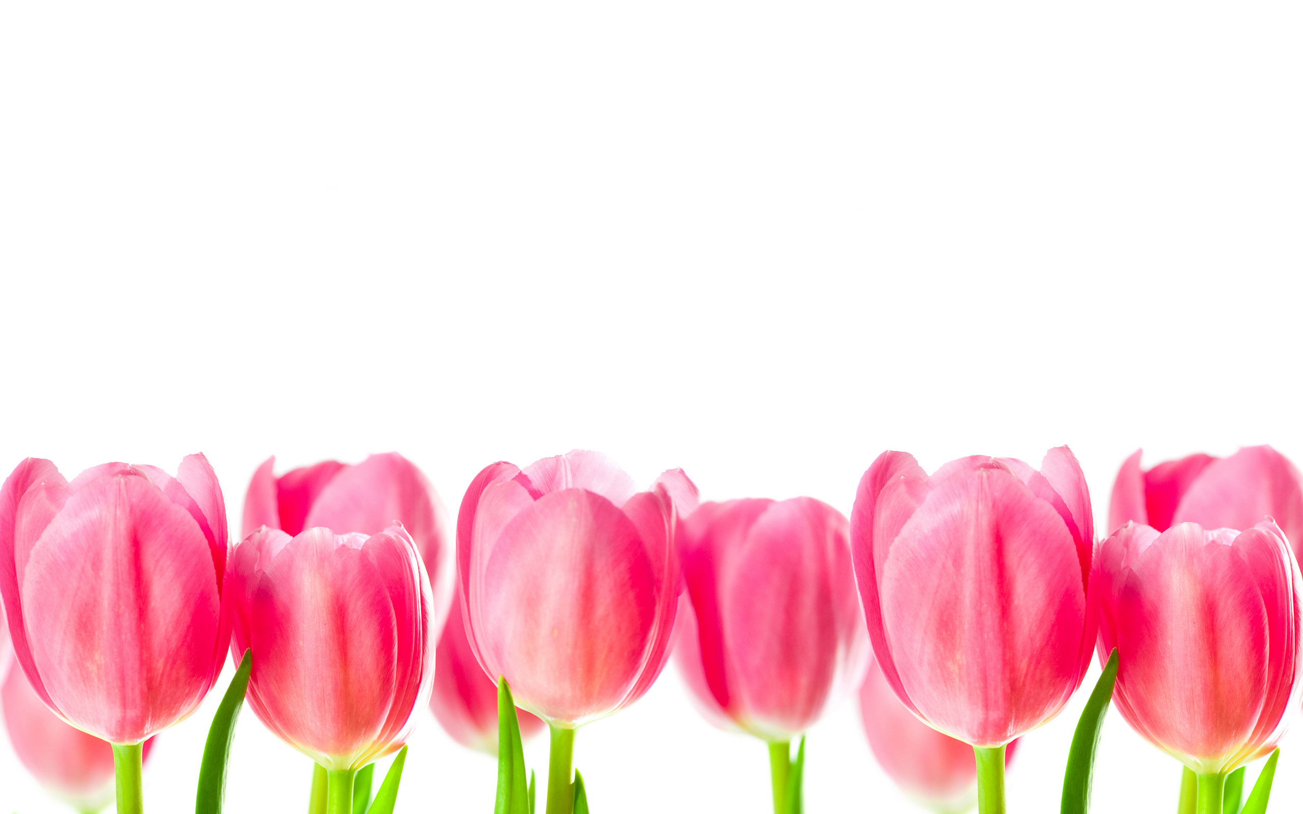 Tulpen wallpapers