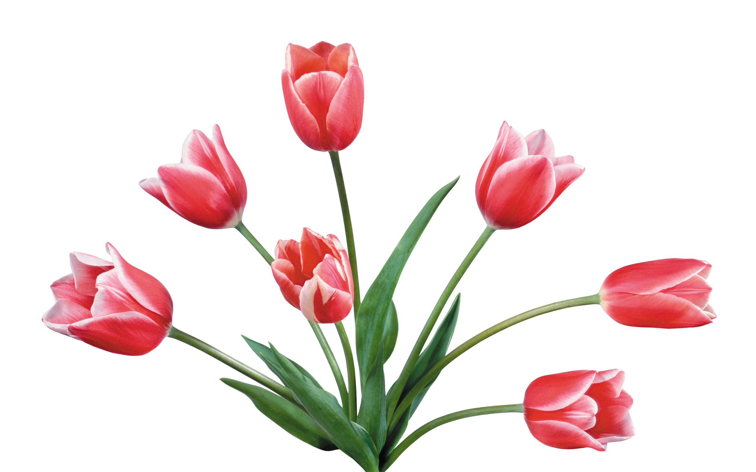Tulpen wallpapers